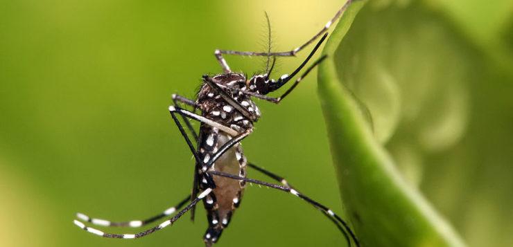 Des moustiques génétiquement modifiés pour tuer le chikungunya dans l'œuf