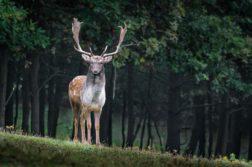 covid : les cerfs sauvages porteur potentiel du virus